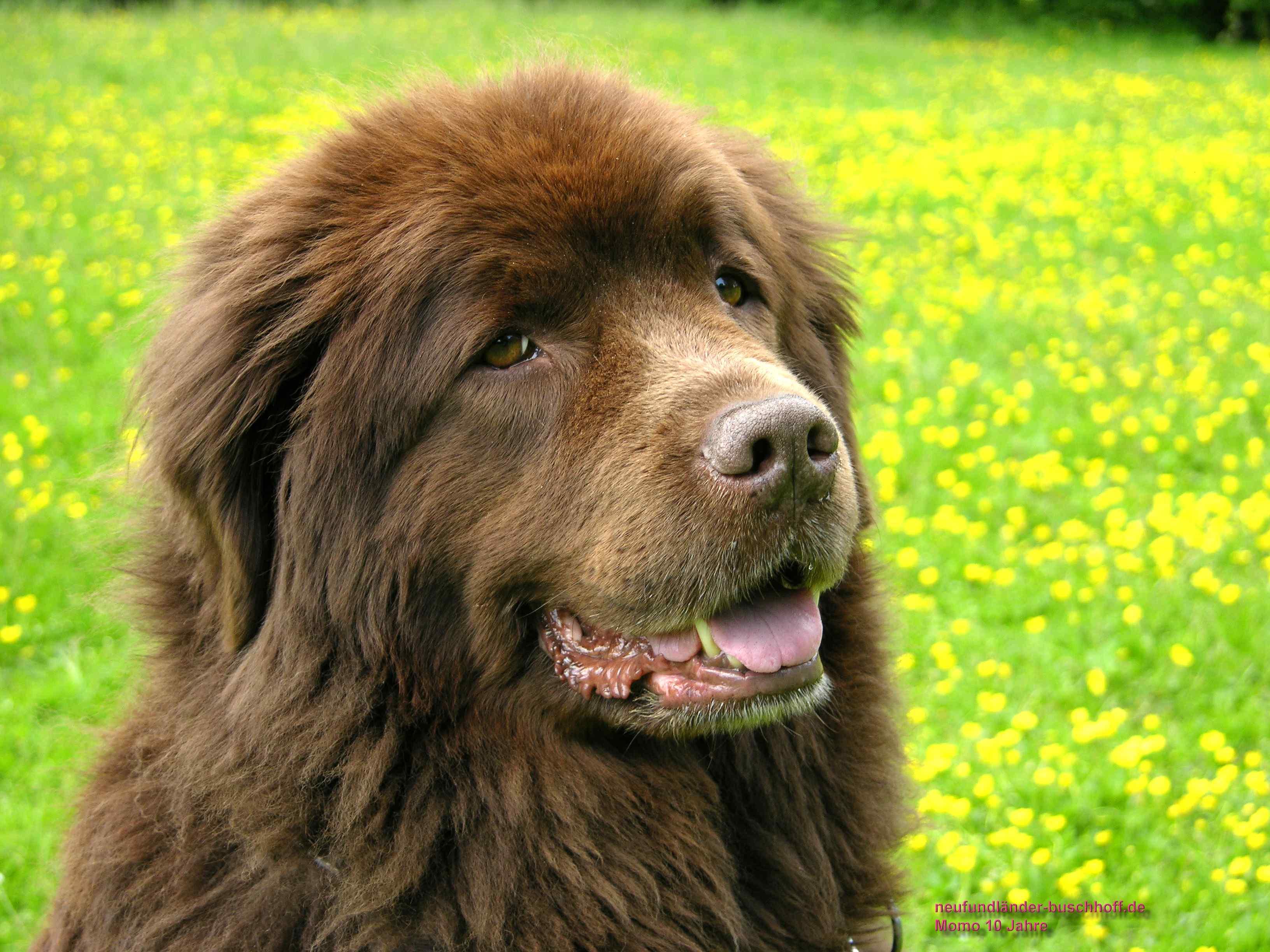 Neufundländer Hund